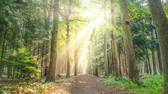 Rays of sun in the forest wallpaper