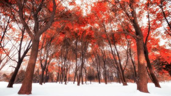 冬日红树林 (Red winter forest) wallpaper