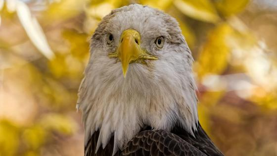Bald Eagle white head wallpaper