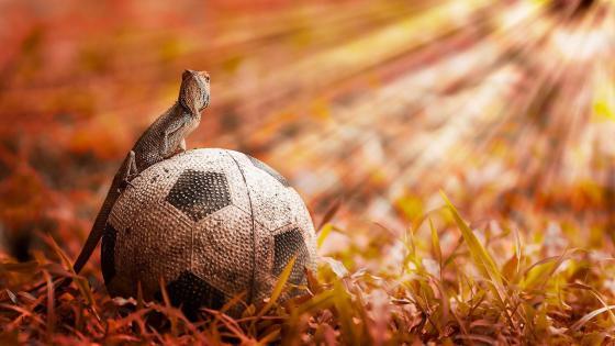 Lizard on a soccer ball wallpaper