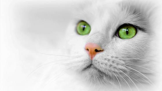 White cat wallpaper