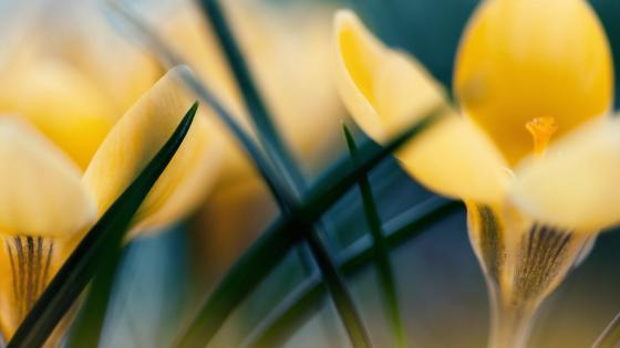Yellow crocus flowers macro photo wallpaper