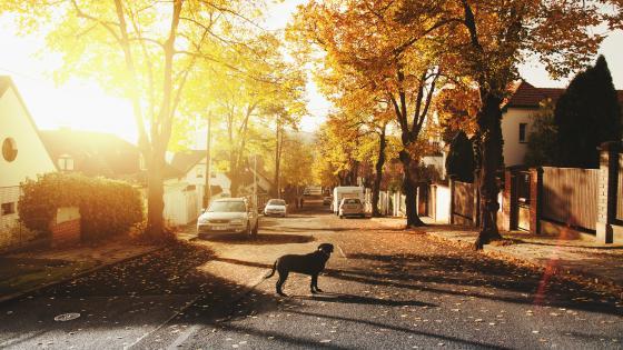 Dog at a suburban street wallpaper