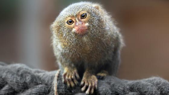 Pygmy marmoset wallpaper