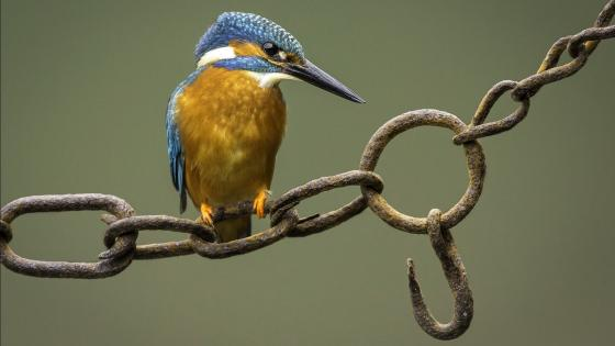 Kingfisher sits on a chain wallpaper