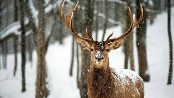 Deer in the snowfall wallpaper