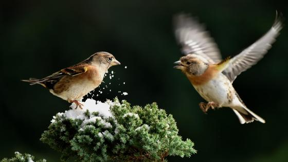 Brambling birds wallpaper