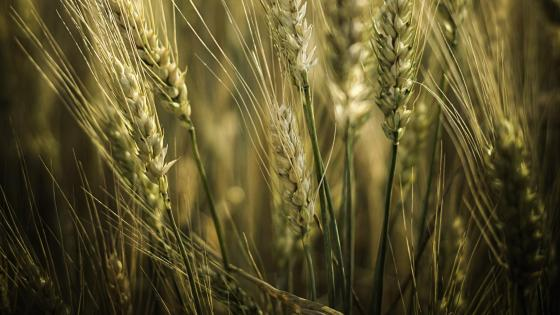 Barley field wallpaper