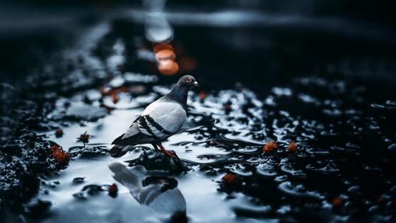 Pigeon in a puddle wallpaper