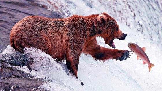Big brown bear catching fish wallpaper