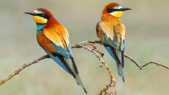 European bee-eater birds wallpaper