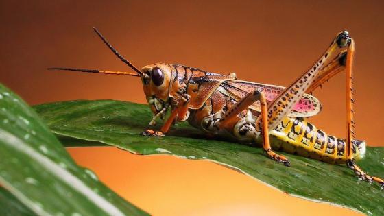 Grasshopper macro photo wallpaper
