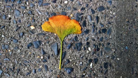 Colorful Gingko Leaf wallpaper