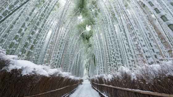 Arashiyama Bamboo Grove in winter wallpaper