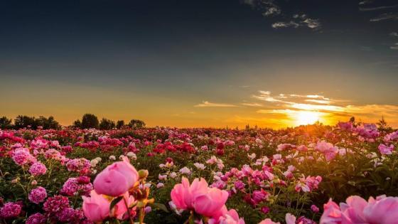 Pink pion field wallpaper