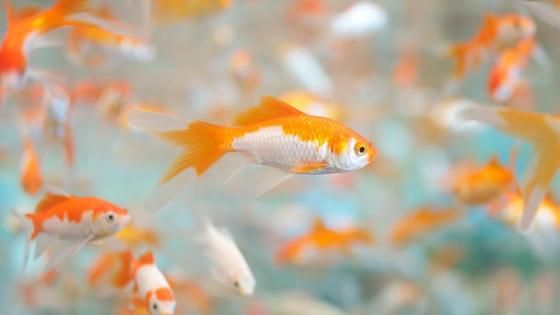 Goldfish (Carassius auratus) wallpaper