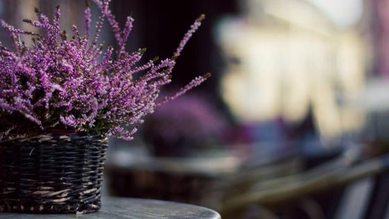 Purple flower (Calluna vulgaris) wallpaper