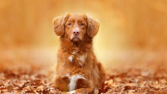 Nova Scotia Duck Tolling Retriever wallpaper