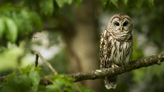 Owl on a branch wallpaper