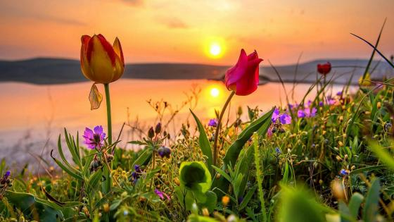 Nature of Crimea - Flowering wild tulips at sunset wallpaper