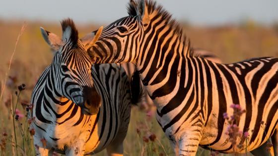Zebra couple wallpaper