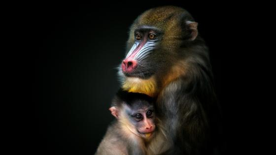 Mandrill wallpaper