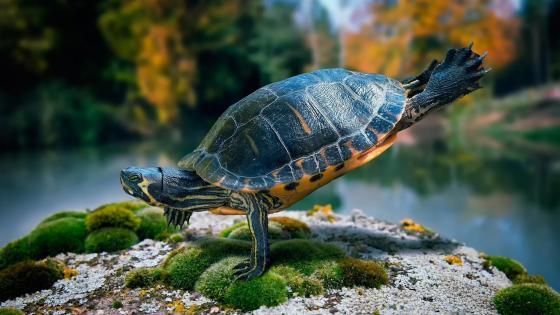 Handstanding turtle wallpaper