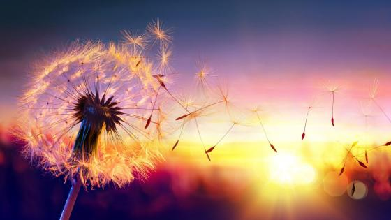 Floating Dandelion seeds in the sunset wallpaper