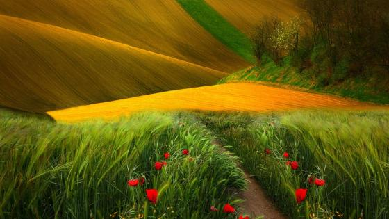 Wheat fields and wild poppies wallpaper