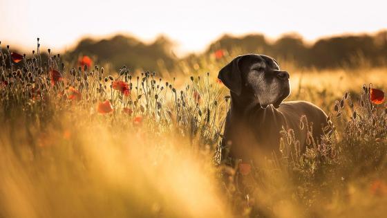 Great Dane dog in a poppy field wallpaper