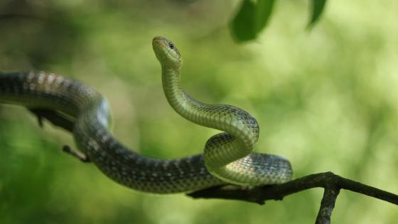 Green snake on a tree wallpaper