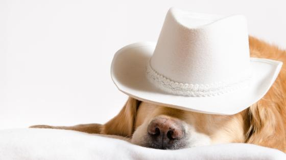 Clown Golden Retriever in white hat wallpaper