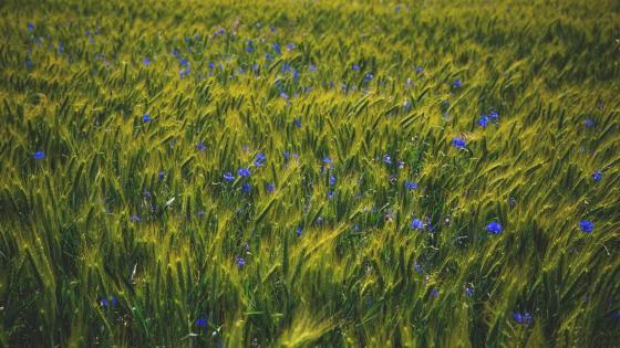 Cornflower in barley field wallpaper