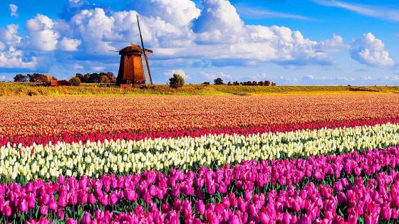 Windmill on tulip field (Keukenhof, Netherlands) wallpaper
