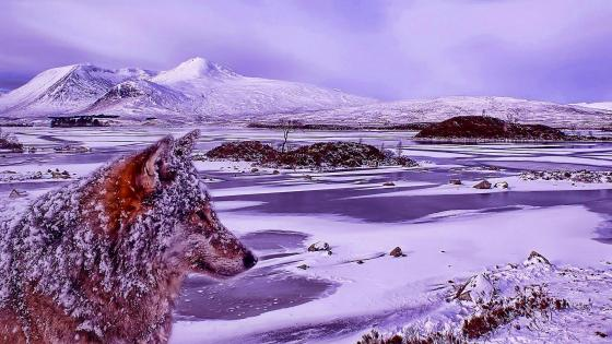 Snowy wolf at the bank of the frozen lake wallpaper