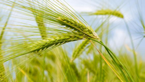 Barley crop close up photo wallpaper
