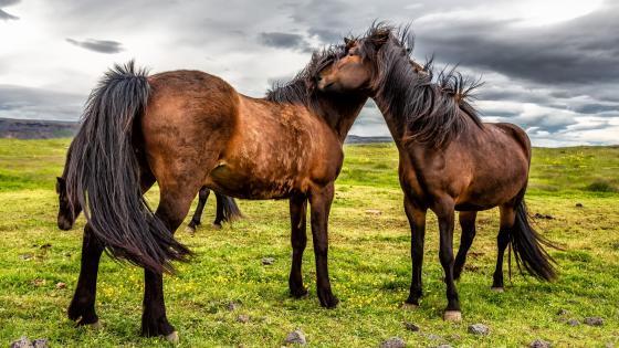 Horses in the grassland wallpaper