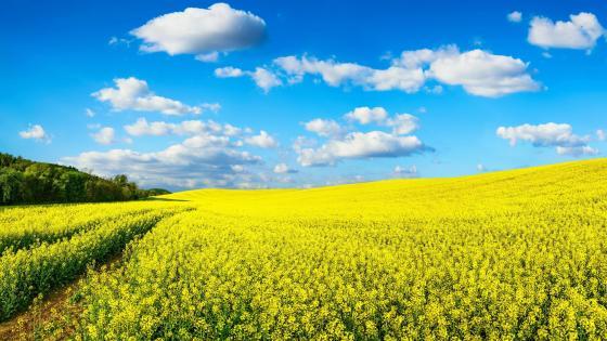 Yellow rape field wallpaper
