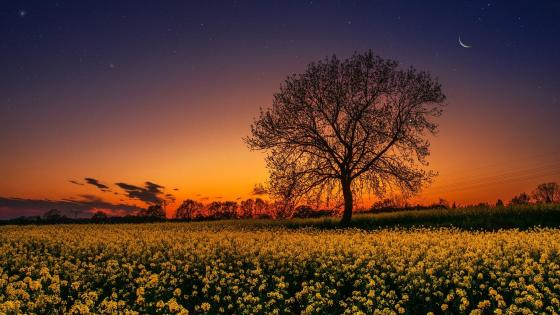 Lonely tree in the rape field wallpaper