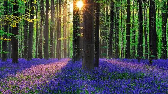 Bluebell forest at spring (Hallerbos, Belgium) wallpaper