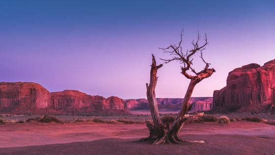 Dried tree at Oljato-Monument Valley wallpaper