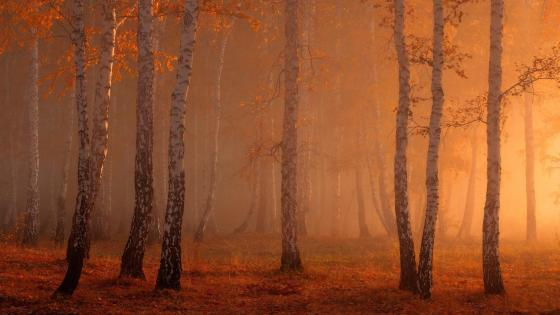 Autumn birches wallpaper