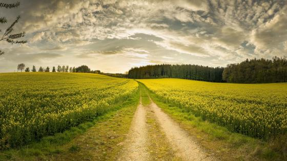 Dirt road in a yellow canola field wallpaper