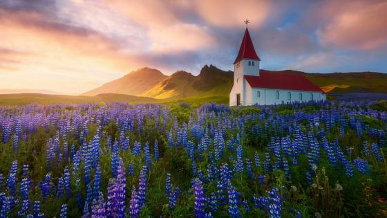 Vik i Myrdal Church in the lupin filed (Iceland) wallpaper