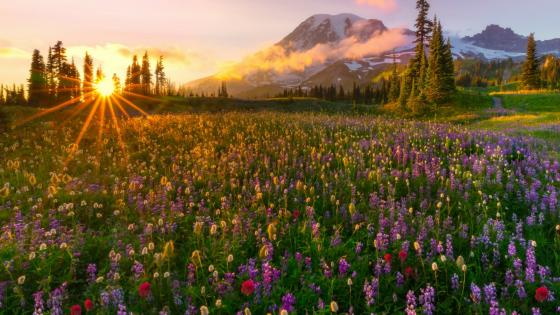Wildflower carpet at the feet of the Mount Rainier wallpaper