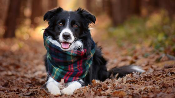 Border Collie in scarf wallpaper