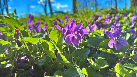Violet flower carpet wallpaper