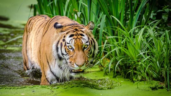 Tiger in swamp wallpaper