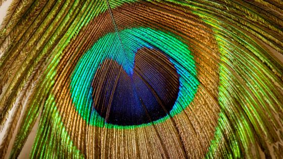 Colorful peacock feather wallpaper