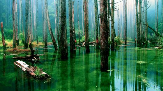 Forest swamp wallpaper